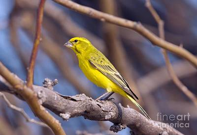 Yellow Canary In A Tree Art Print by Bob Gibbons