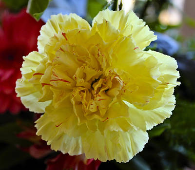 Yellow Carnation Delight Art Print by Kurt Van Wagner