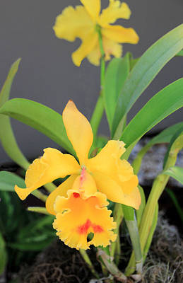Yellow Cattleya Orchid Art Print by Rosalie Scanlon