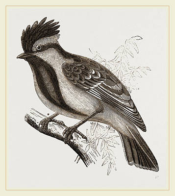 Titmouse Drawing - Yellow-cheeked Titmouse by Litz Collection