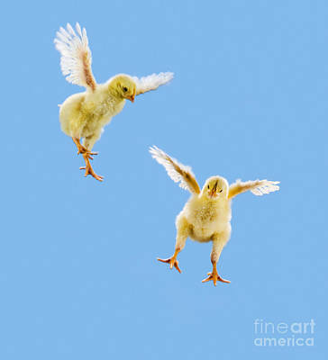 Photograph - Yellow Chick by Wave Royalty Free