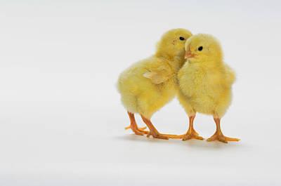 Yellow Chicks. Baby Chickens Art Print by Thomas Kitchin & Victoria Hurst