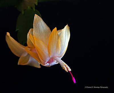 Photograph - Yellow Christmas Cactus - Brazil by Winston D Munnings