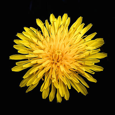 Photograph - Yellow Chrysanthemum by Bob and Nadine Johnston