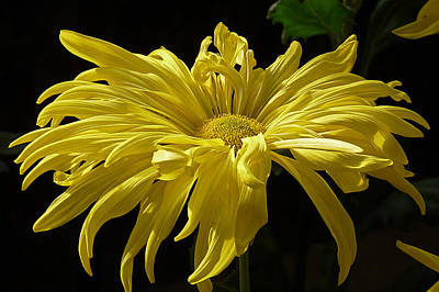 Photograph - Yellow Chrysanthemum by Jennifer Nelson