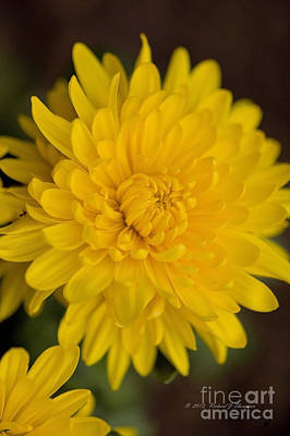 Photograph - Yellow Chrysanthemum by Richard J Thompson