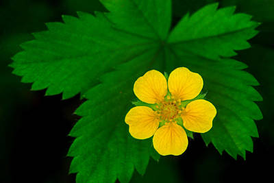 Photograph - Yellow Cinquefoil by Carolyn Derstine