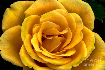 Rosaceae Photograph - Yellow Close-up by Robert Bales
