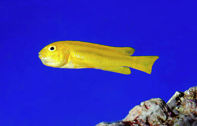 Yellow Clown Goby Or Okinawa Goby Art Print by Nigel Downer