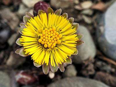 Photograph - Yellow Coltsfoot Flower by Christina Rollo