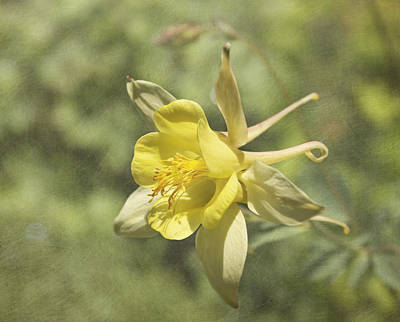 Photograph - Yellow Columbine by Kim Hojnacki