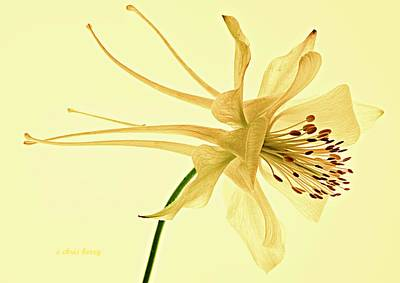 Photograph - Yellow Columbine Study  by Chris Berry