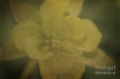 Photograph - Yellow Columbine by Tamara Becker