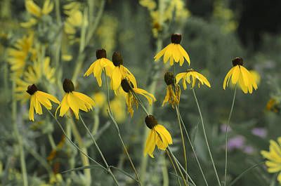 Sports Royalty-Free and Rights-Managed Images - Yellow cone flower by David Tennis