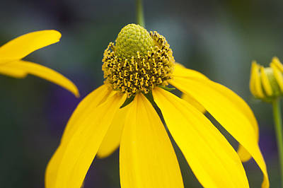 Abstracted Coneflowers Photograph - Yellow Coneflower Rudbeckia by Rich Franco