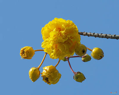 Photograph - Yellow Cotton Tree Dthb1536 by Gerry Gantt