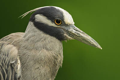 Heron Digital Art - Yellow-crowned Night Heron by Bill Tiepelman