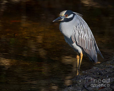 Photograph - Yellow-crowned Night Heron by Chris Scroggins