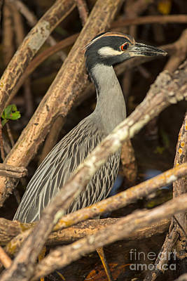 Yellow Crowned Night Heron Fishing Art Print