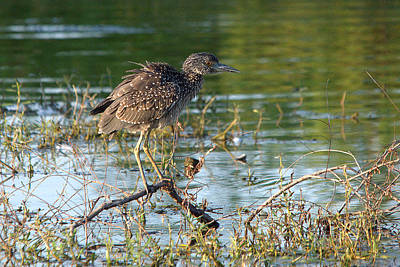 Yellow-crowned Night-heron Hunting Art Print by Roy Williams