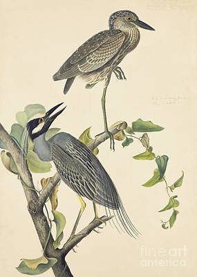 Herons Drawing - Yellow-crowned Night-heron by John James Audubon