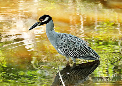 Photograph - Yellow Crowned Night Heron by Kathy Baccari