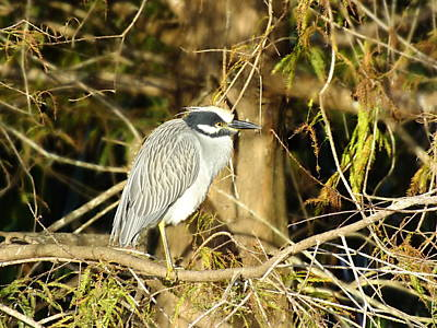 Photograph - Yellow Crowned Night Heron by Peggy King