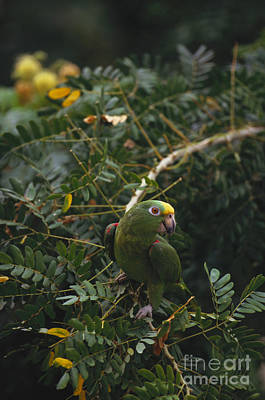 Yellow-crowned Parrot Art Print by Art Wolfe