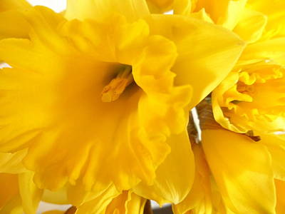 Photograph - Yellow Daffodil  by Christopher Rowlands