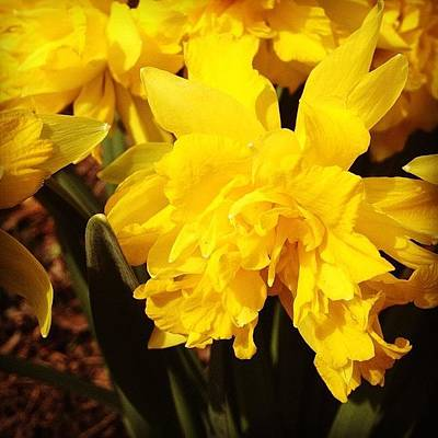 Bright Photograph - Yellow Daffodils by Christy Beckwith