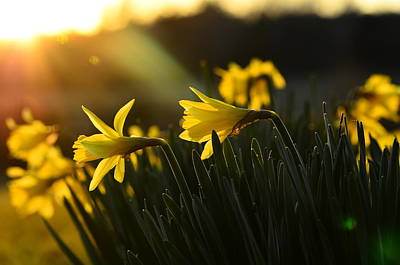Appleton Photograph - Yellow Daffodils In The Sunset by Don Condley