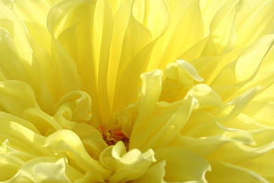 Yellow Dahlia Burst Art Print
