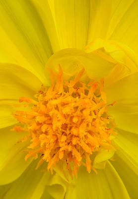 Photograph - Yellow Dahlia Center by  Onyonet  Photo Studios