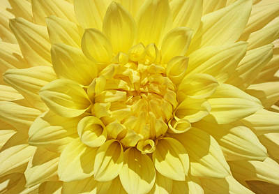 Photograph - Summer Yellow Dahlia Flower  by Jennie Marie Schell
