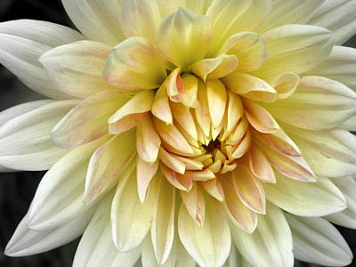 Yellow Dahlia Art Print by Janice Drew