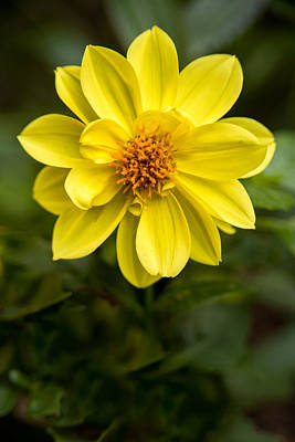 Photograph - Yellow Dahlia Portrait by  Onyonet  Photo Studios