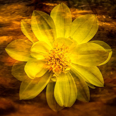 Photograph - Yellow Dahlia Under Water by  Onyonet  Photo Studios