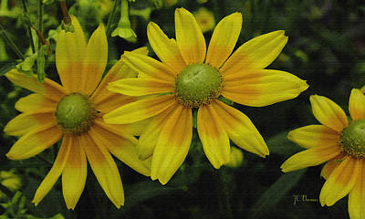 Photograph - Yellow Daisies by James C Thomas