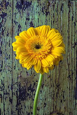 Gerbera Daisy Photograph - Yellow Daisy And Green Wall by Garry Gay
