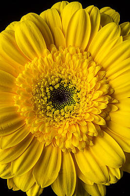 Chrysanthemums Photograph - Yellow Daisy Close Up by Garry Gay