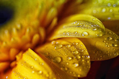 Floral Photograph - Yellow Daisy Drizzle by Christy Patino