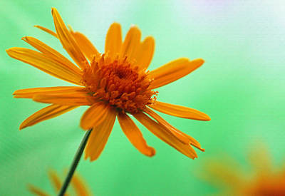 Yellow Daisy Enhanced Original by Suzanne Gaff