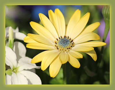 Yellow Daisy With Boarder Original