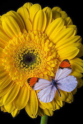 Gerbera Daisy Photograph - Yellow Daisy With Butterfly by Garry Gay