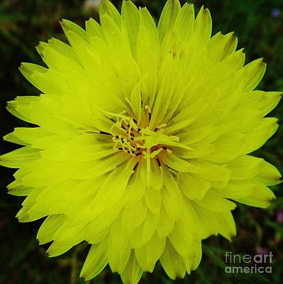 Photograph - Beautiful - Yellow - Dandelion by D Hackett