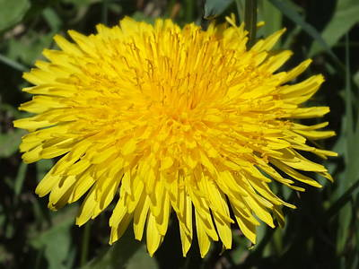 Photograph - Yellow Dandelion by Gene Cyr