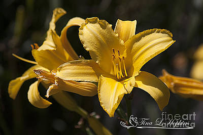 Photograph - Yellow Day Lily 20120706_39a by Tina Hopkins