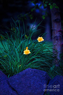 Photograph - Yellow Day Lily At Night by Cindy Singleton
