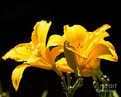 Photograph - Yellow Daylilies by Dale Nelson
