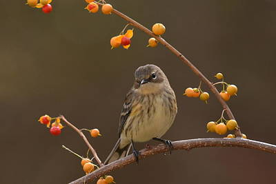 Yellow Rumped Warbler Photograph - Yellow by Deborah Bifulco